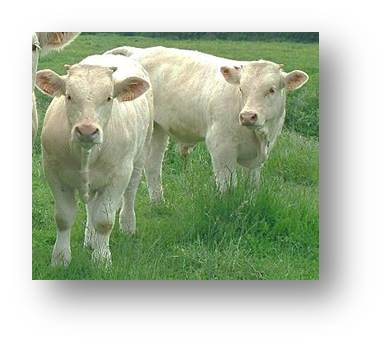 Jeunes bovins dans l'herbe Velay Scop