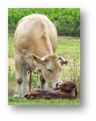 Vaches avec veau Velay Scop