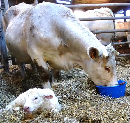 Réhydrater la vache Velay Scop