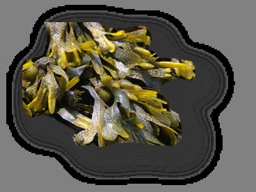 Algues Velay Scop